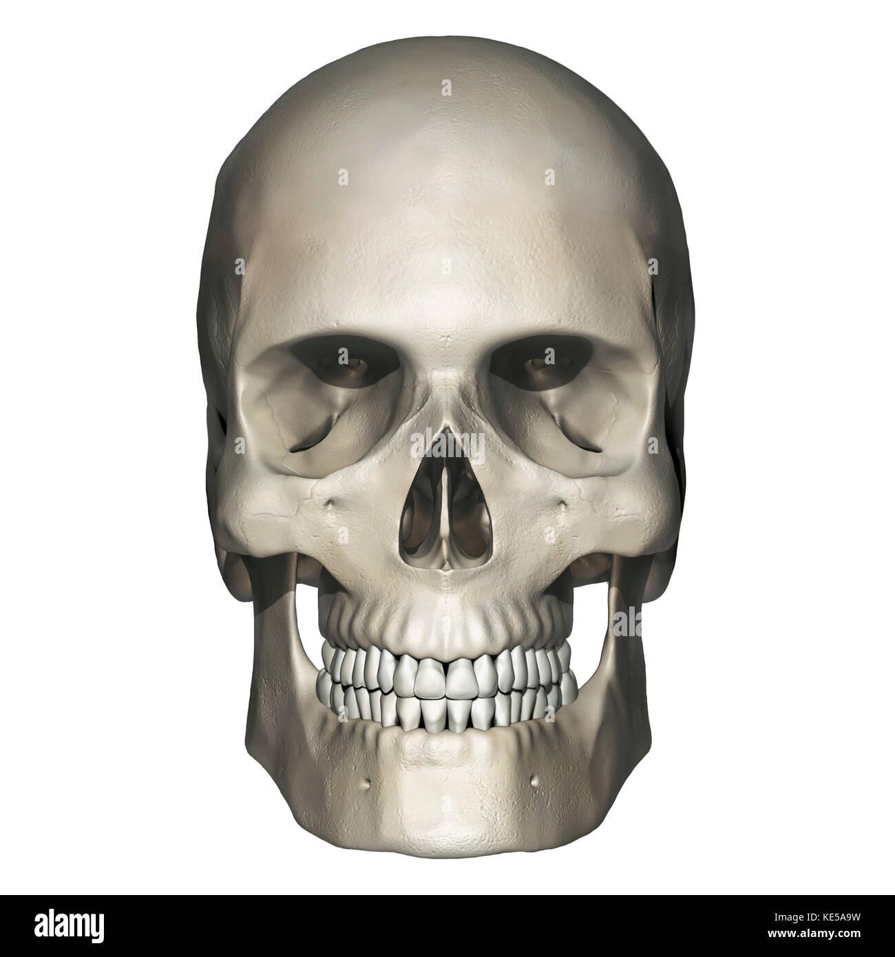 Anterior view of human skull anatomy. - Stock Image