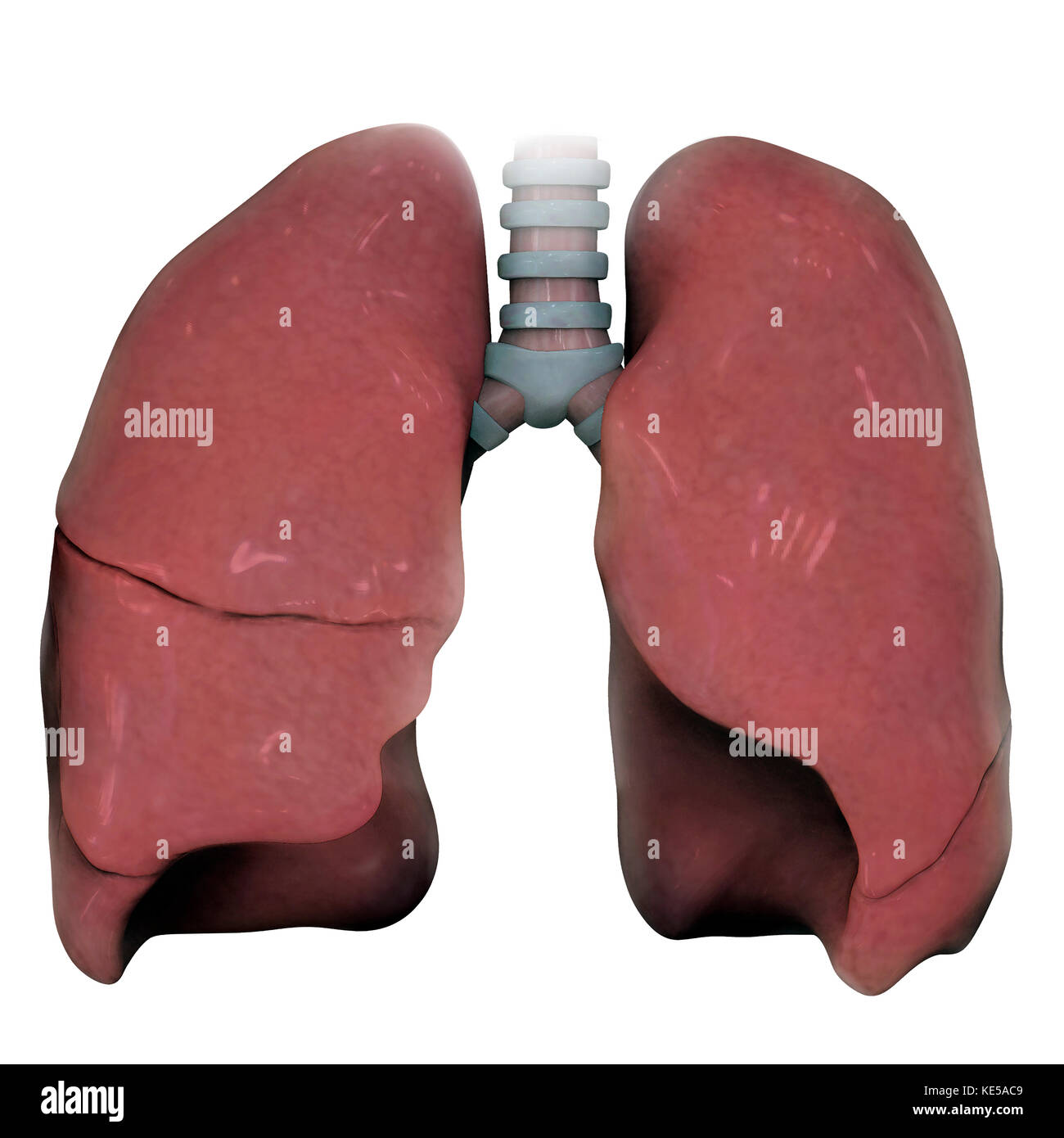 3D model of right and left human lung. - Stock Image