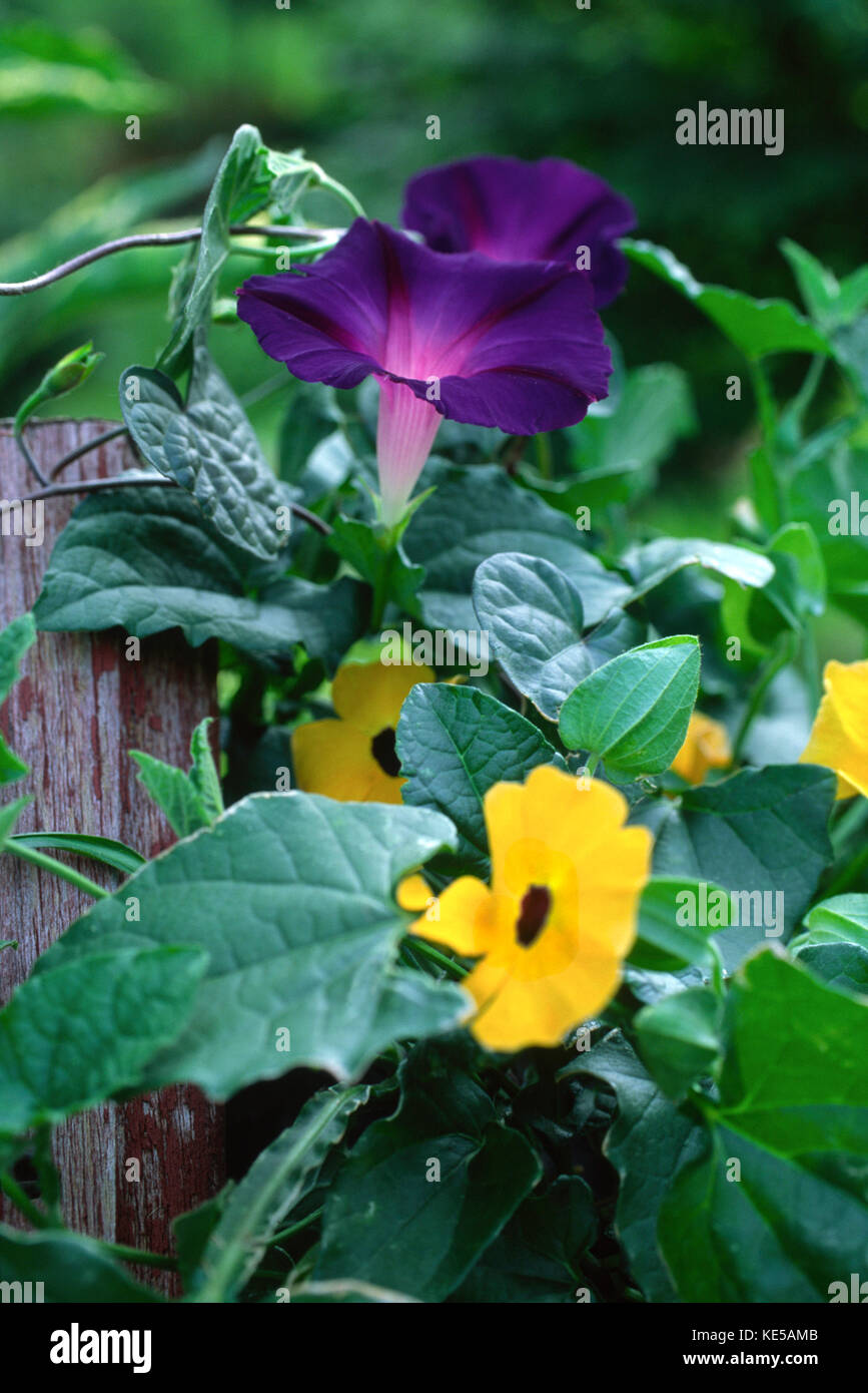 Morning Glory and Thunbergia (black eye Susan) vines climbing on fence post - Stock Image
