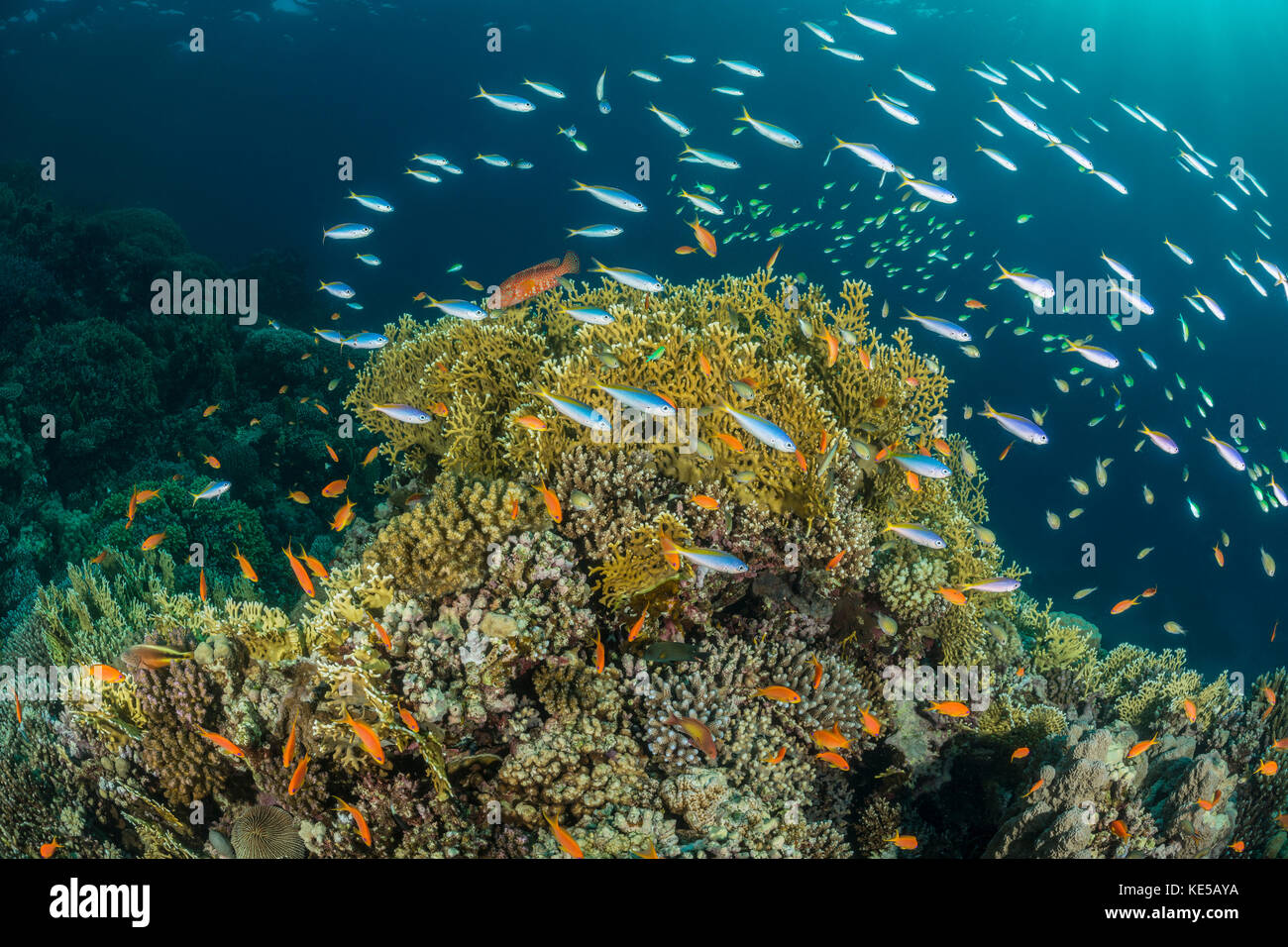 Yellowback Fusilier over Coral Reef, Caesio teres, Marsa Alam, Red Sea, Egypt Stock Photo