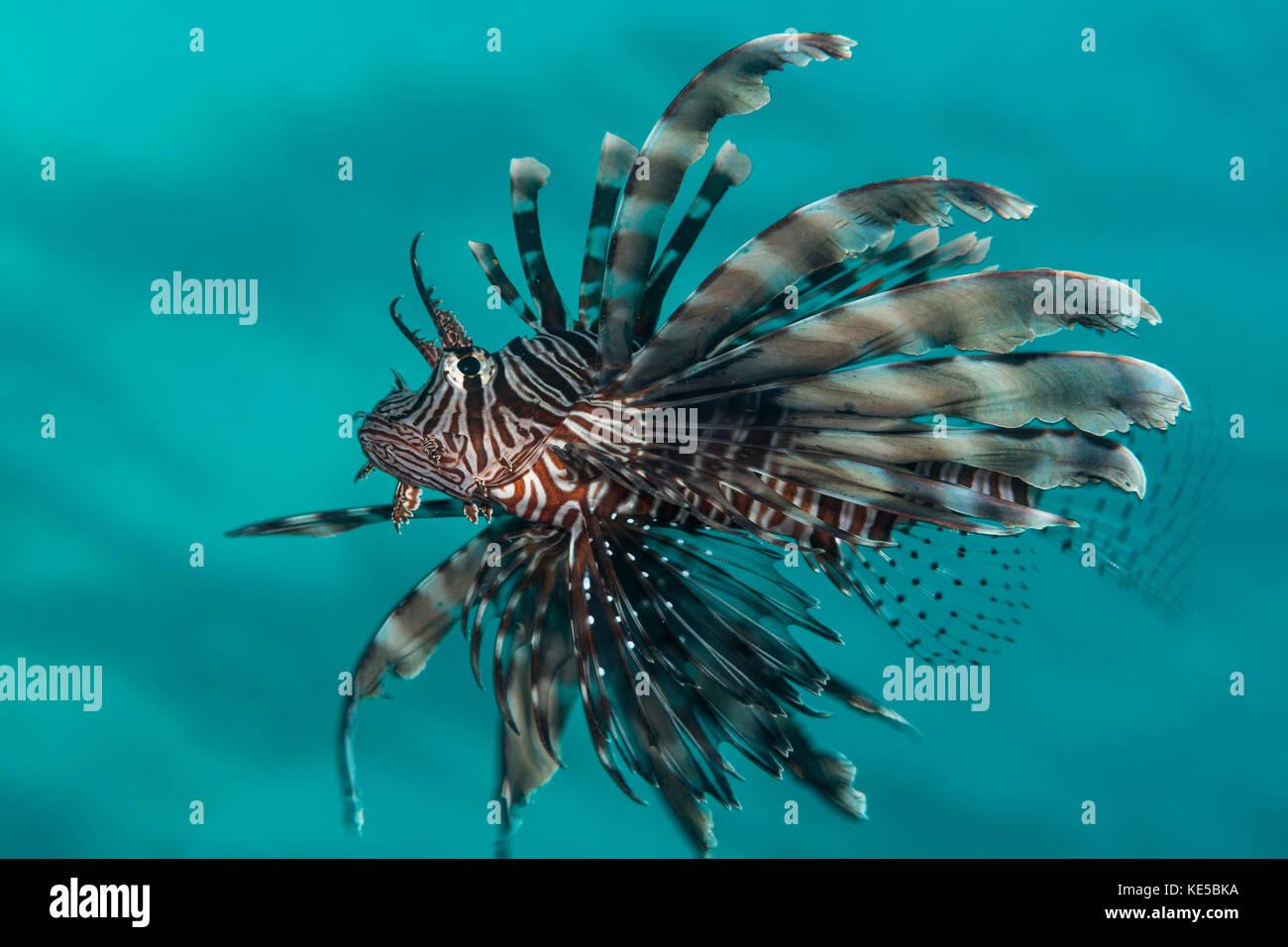 Common Lionfish, Pterois miles, Elphinstone Reef, Red Sea, Egypt - Stock Image