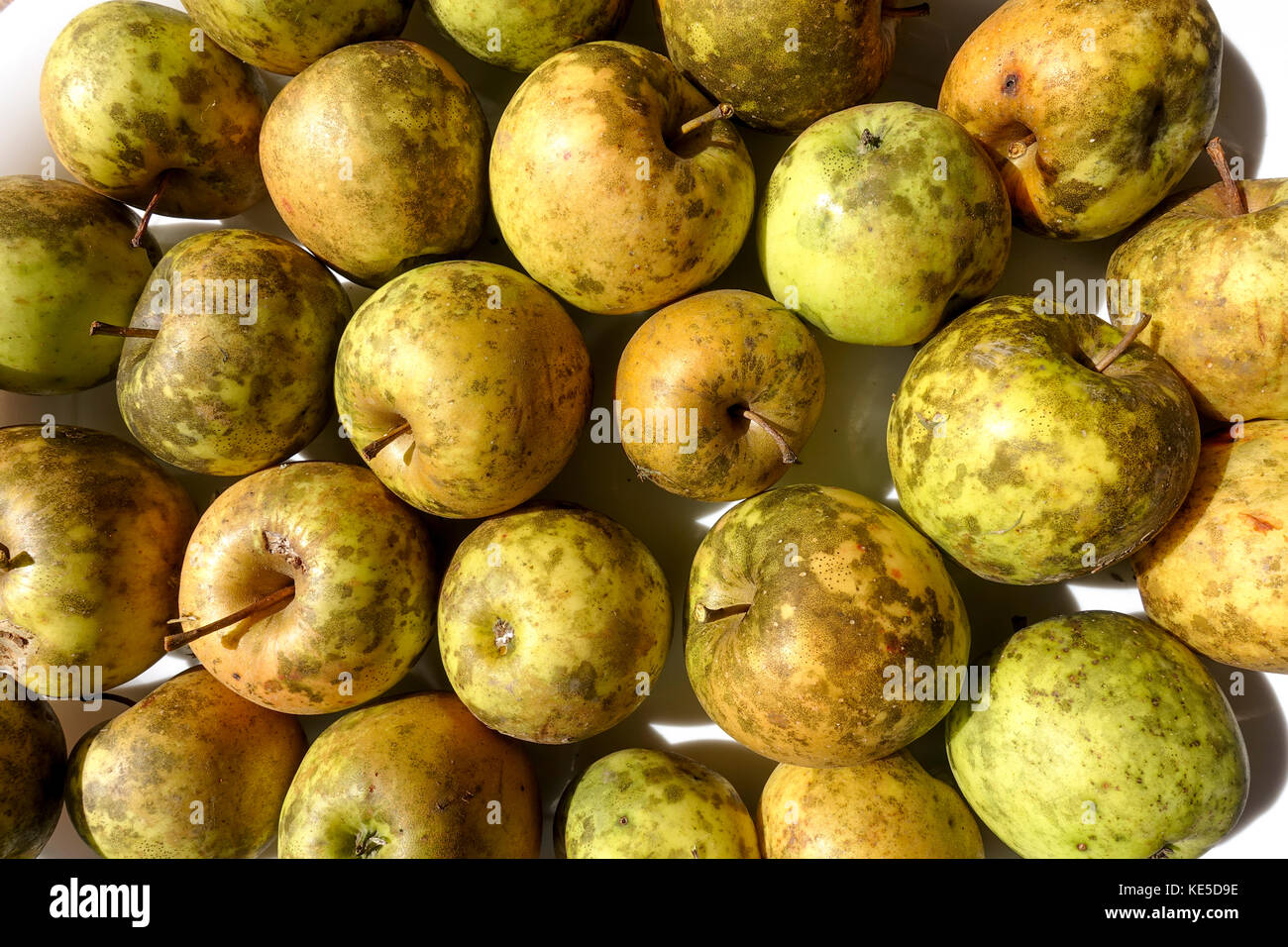 Apples affected by Sooty Blotch fungus. USA. - Stock Image