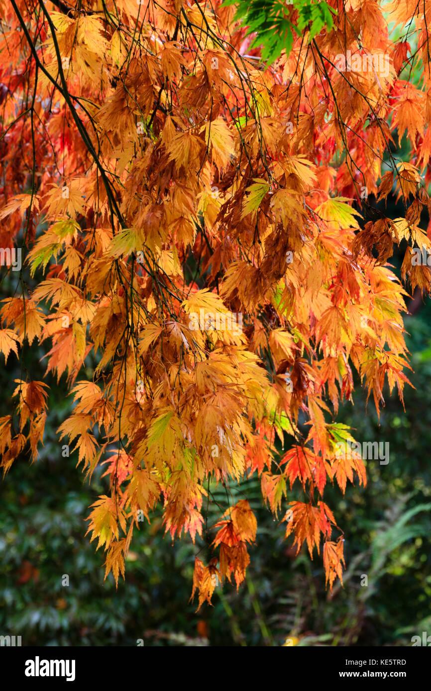 Glowing reds,orange and yellow in the Autumn colour of the Japanese maple, Acer palmatum 'Heptalobum Elegans' - Stock Image