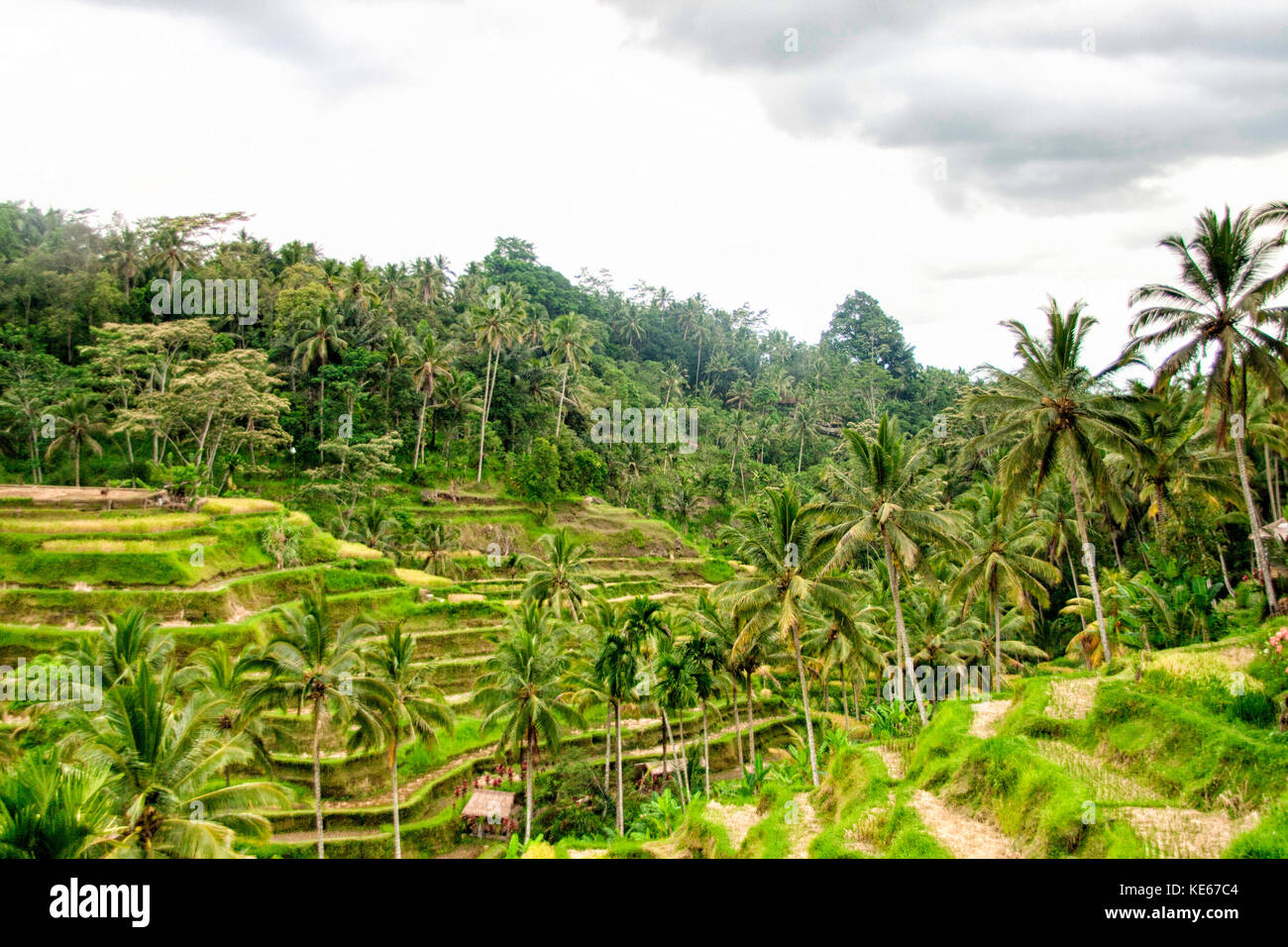 Tegallalang Rice Field, Bali - Stock Image