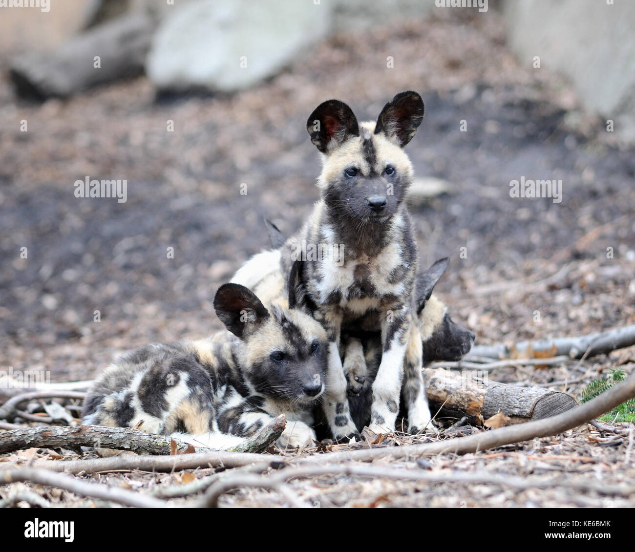 African wild dogs (Lycaon pictus) pups - Stock Image