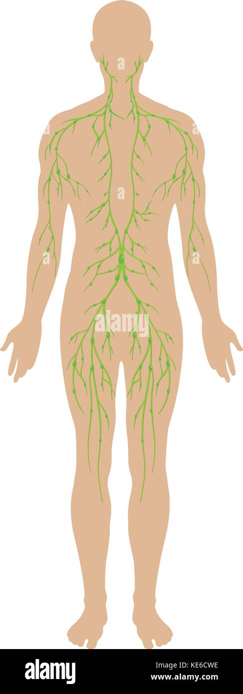 Lymphatic System Diagram Stock Photos Lymphatic System Diagram