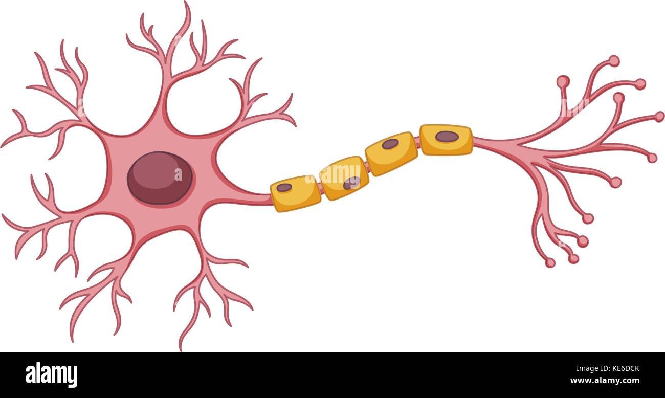 Stem cell diagram on white background illustration stock vector art stem cell diagram on white background illustration ccuart Images