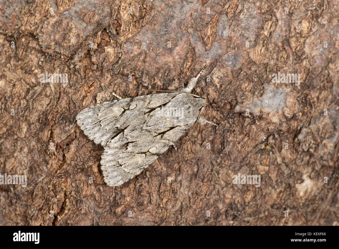 Grey Dagger Moth (Acronicta psi) adult at rest on tree trunk, Monmouth, Wales, May - Stock Image