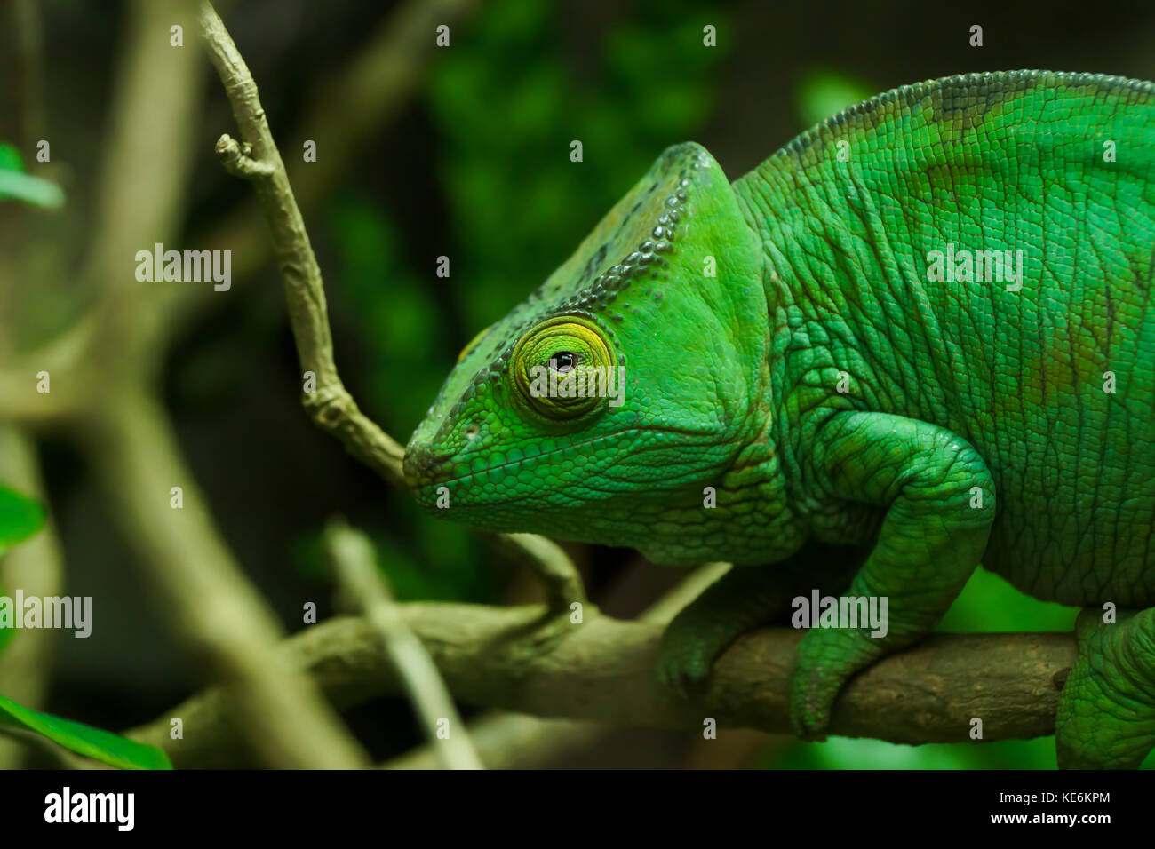 A chameleon looks at the camera on a branch in Devon, UK - Stock Image