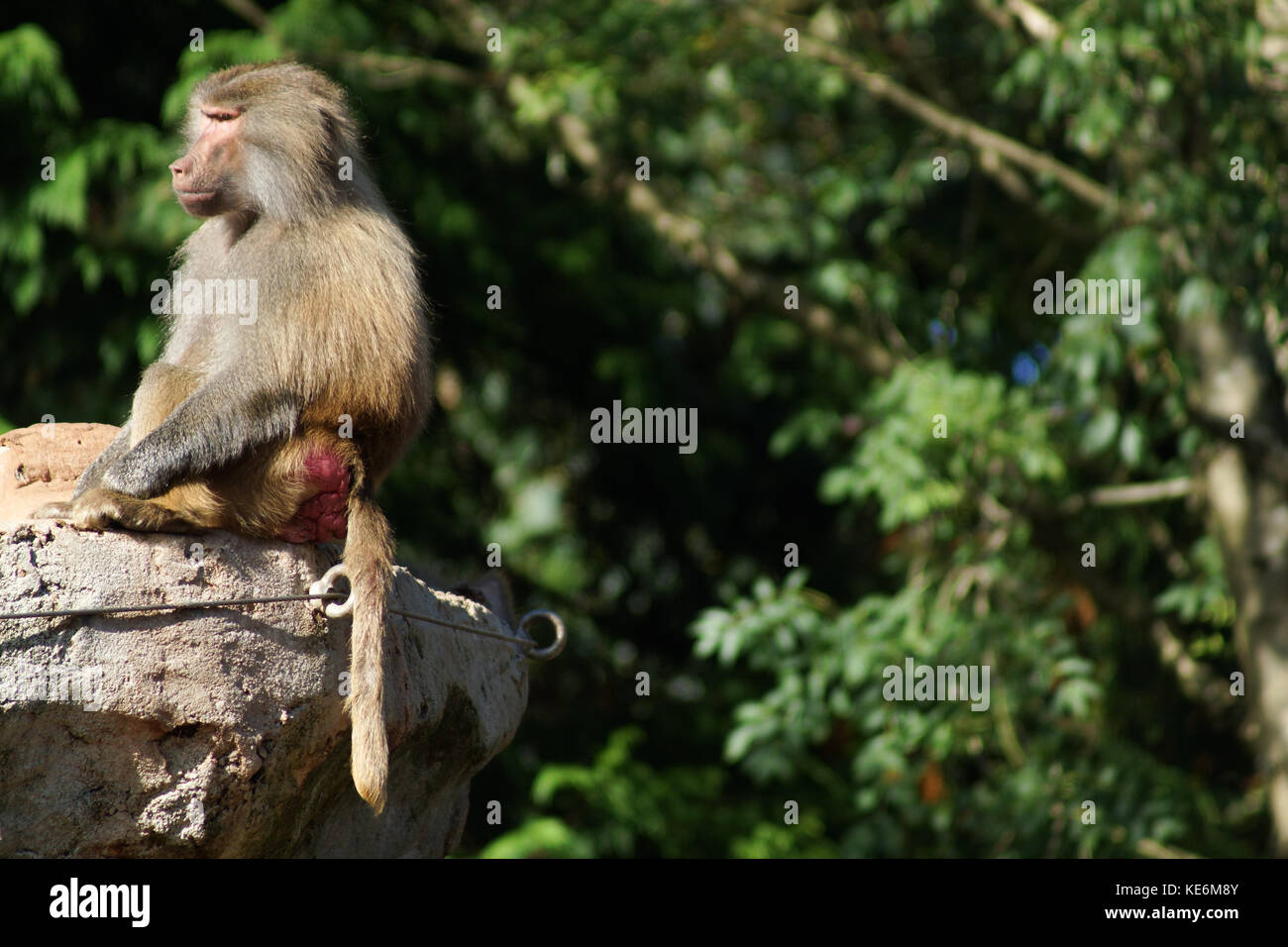 A baboon sits on a rock in Devon, UK - Stock Image