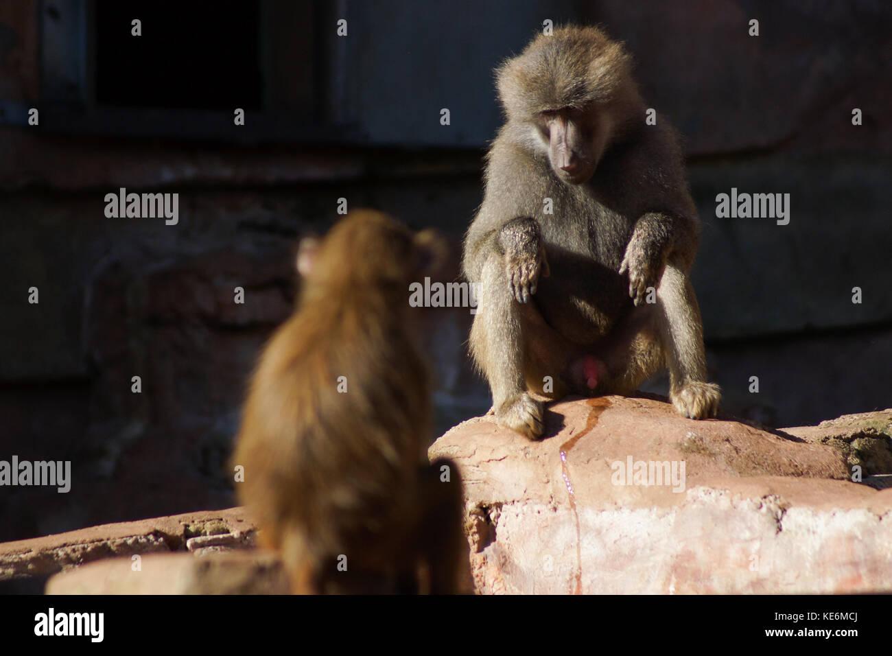 Baboons sit on a rock in Devon, UK - Stock Image