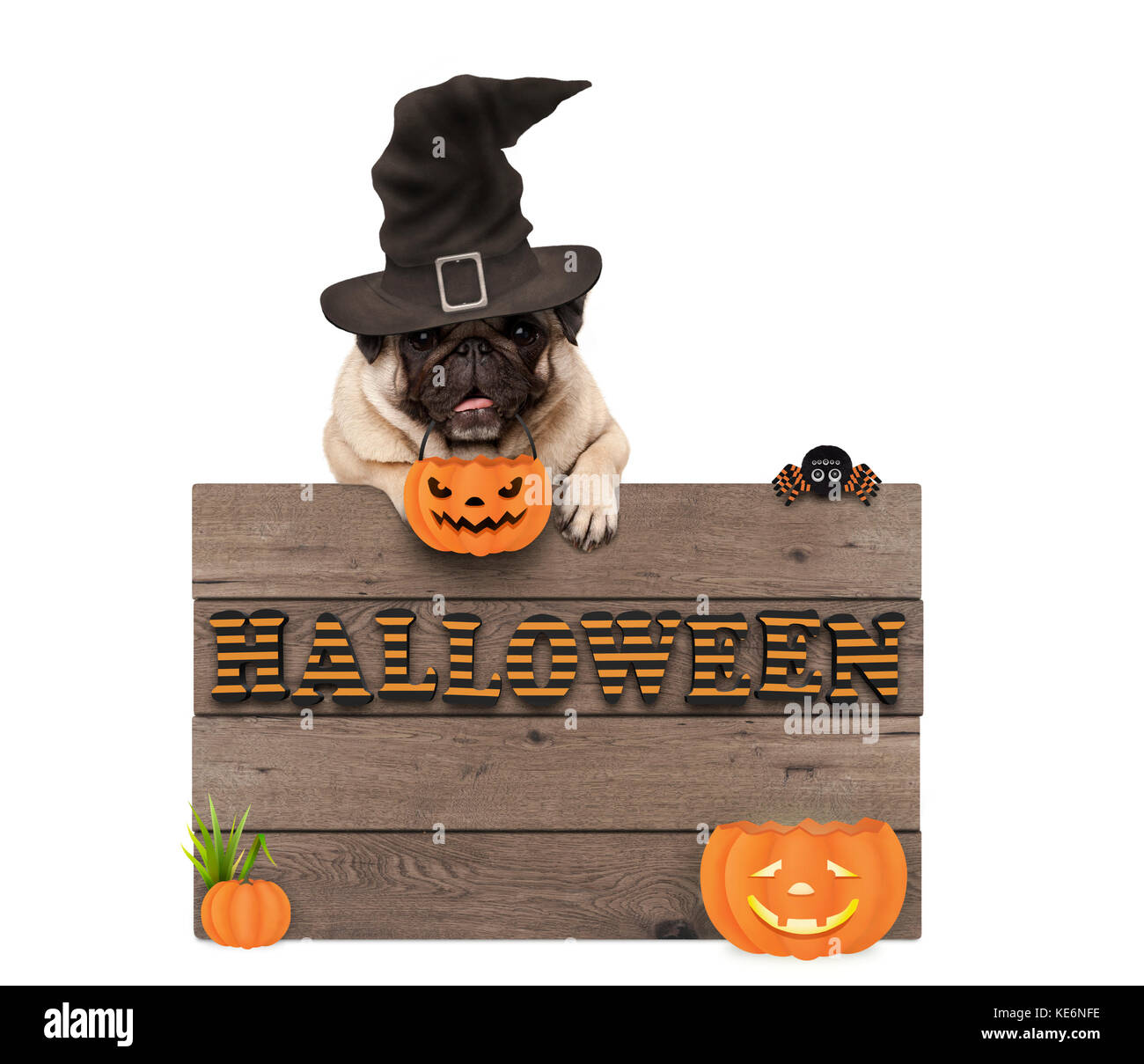 cute halloween pug puppy dog with witch hat and pumpkins and wooden board sign with letters halloween, isolated - Stock Image
