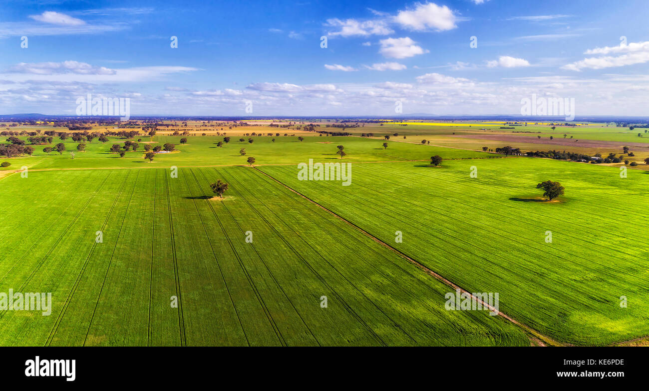 Flat cultivated developed argicultural farm growing crops in rural Victoria on a bright summer day with lonely gumtrees - Stock Image