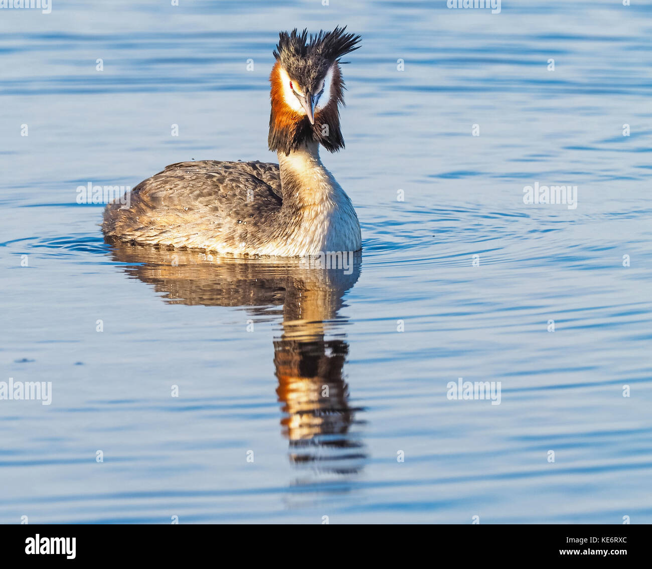 The Great Crested Grebe (Podiceps cristatus) is a member of the grebe family of water birds and is found in Europe, Stock Photo