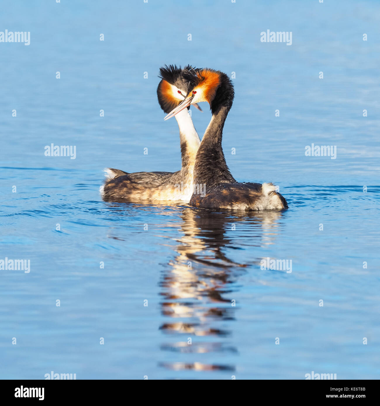A courting pair of Great Crested Grebes (Podiceps cristatus) - a member of the grebe family of water birds found - Stock Image