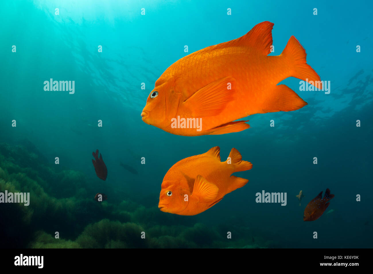 Garibaldi Fish, Hypsypops rubicundus, Catalina Island, California, USA Stock Photo