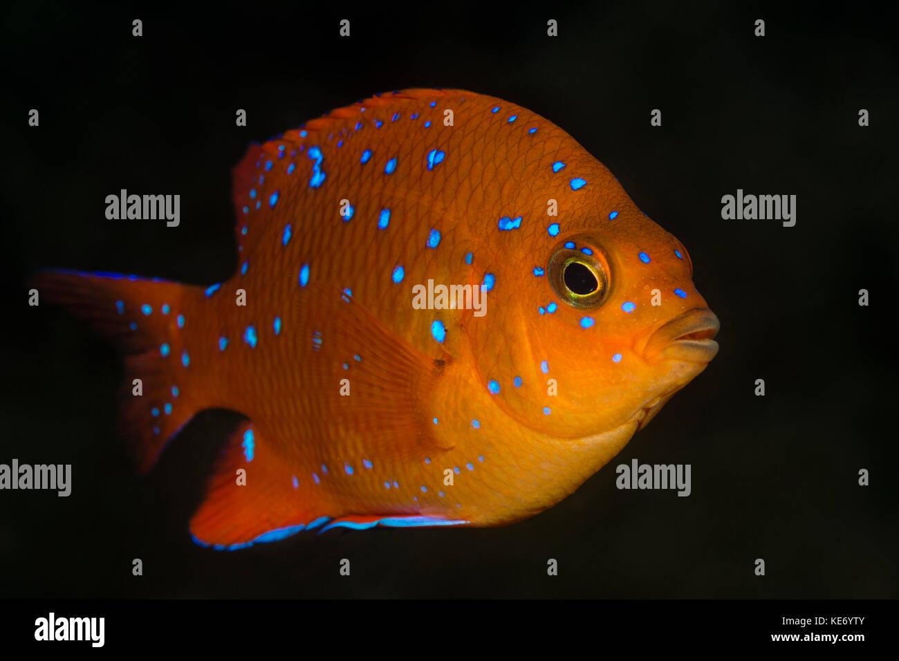 Juvenile Garibaldi Fish, Hypsypops rubicundus, Catalina Island, California, USA - Stock Image