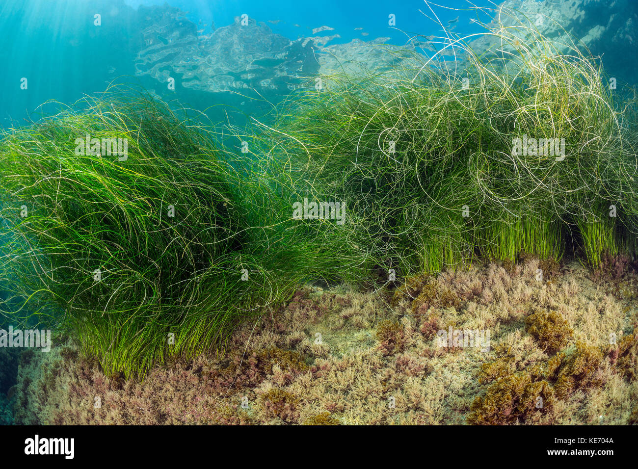 Surfgrass, Phyllospadix sp., Catalina Island, California, USA - Stock Image