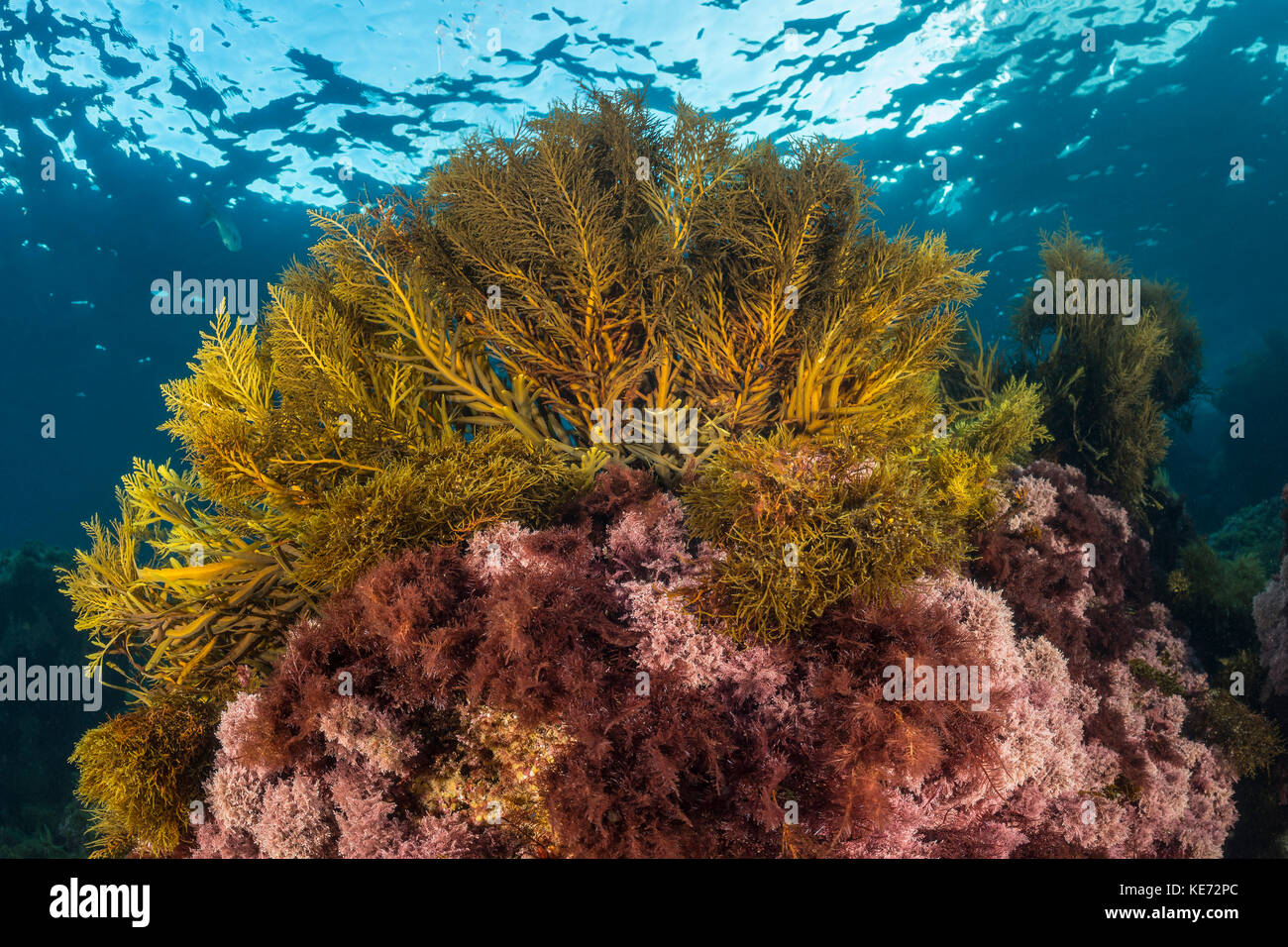 Variety of Algae, Catalina Island, California, USA - Stock Image