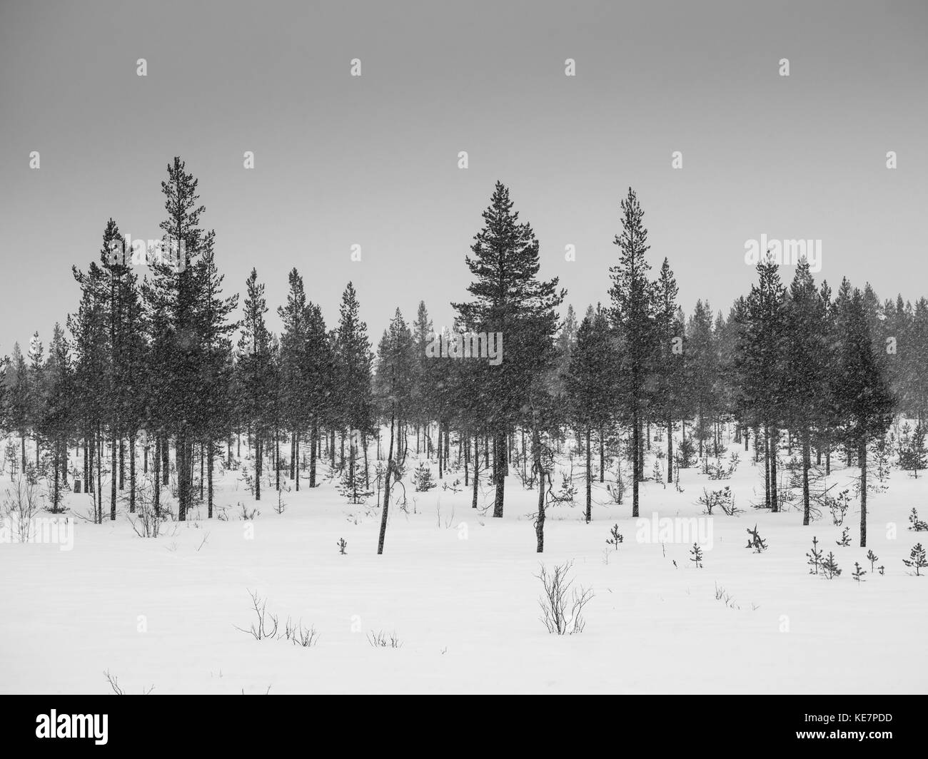 Coniferous Trees In A Snowfall; Arjeplog, Norrbotten County, Sweden - Stock Image