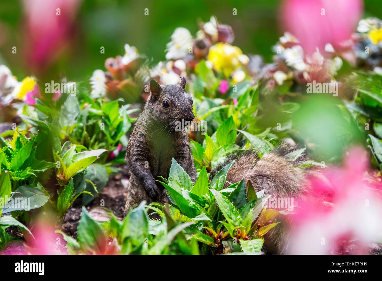 A Eastern Grey Squirrel (Sciurus Carolinensis) Looking Out From Among A Bed Of Flowers In Beacon Hill Park; Victoria, - Stock Image