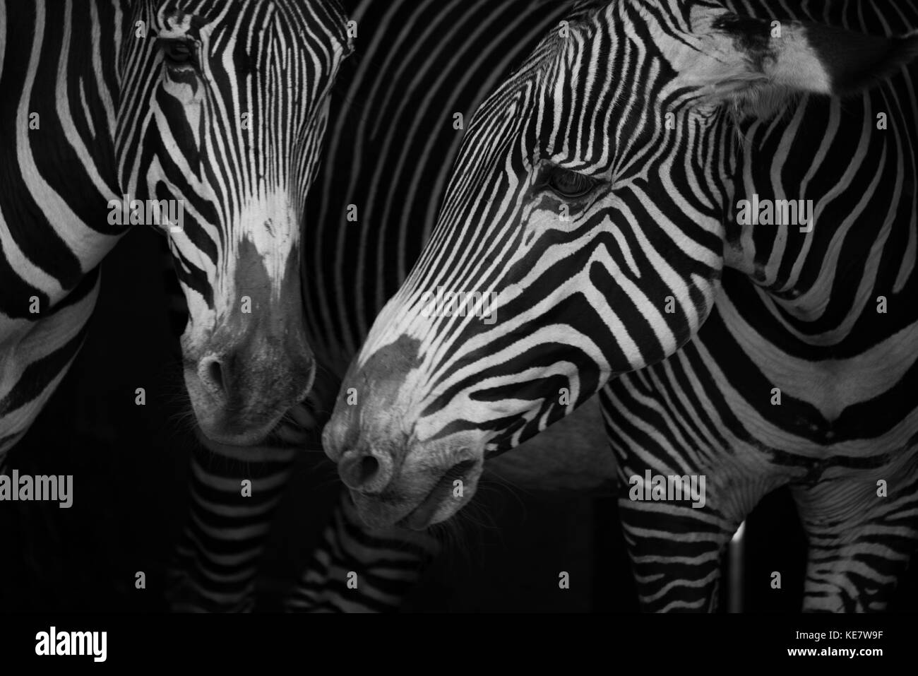 Close-Up Of Two Grevy's Zebra (Equus Grevyi) Side-By-Side; Cabarceno, Cantabria, Spain - Stock Image