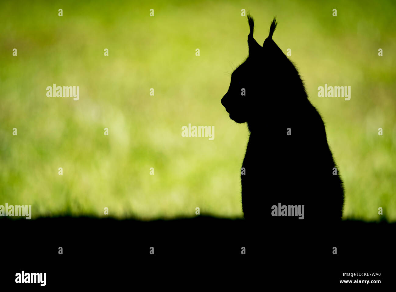 silhouette of canada lynx lynx canadensis sitting on grass looking