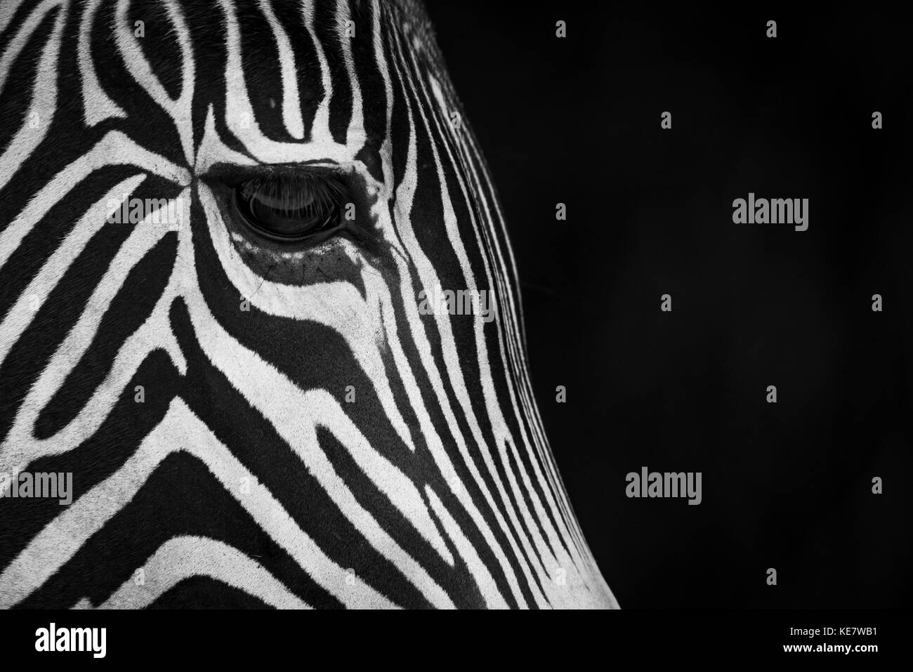 Close-Up Of Grevy's Zebra (Equus Grevyi) Face In Profile Against A Black Background; Cabarceno, Cantabria, Spain - Stock Image