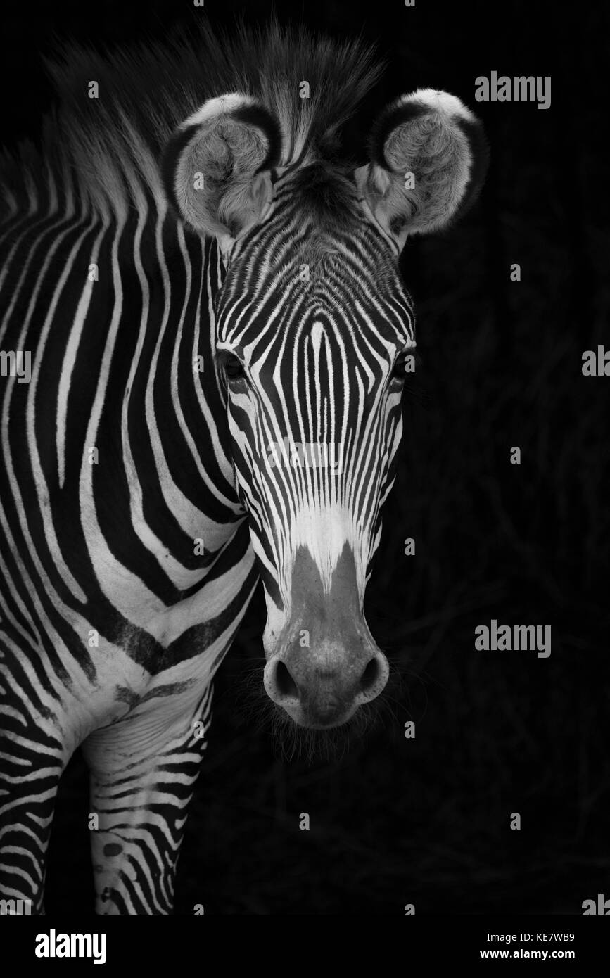 Close-Up Of Grevy's Zebra (Equus Grevyi) Looking At Camera Against A Black Background; Cabarceno, Cantabria, Spain Stock Photo