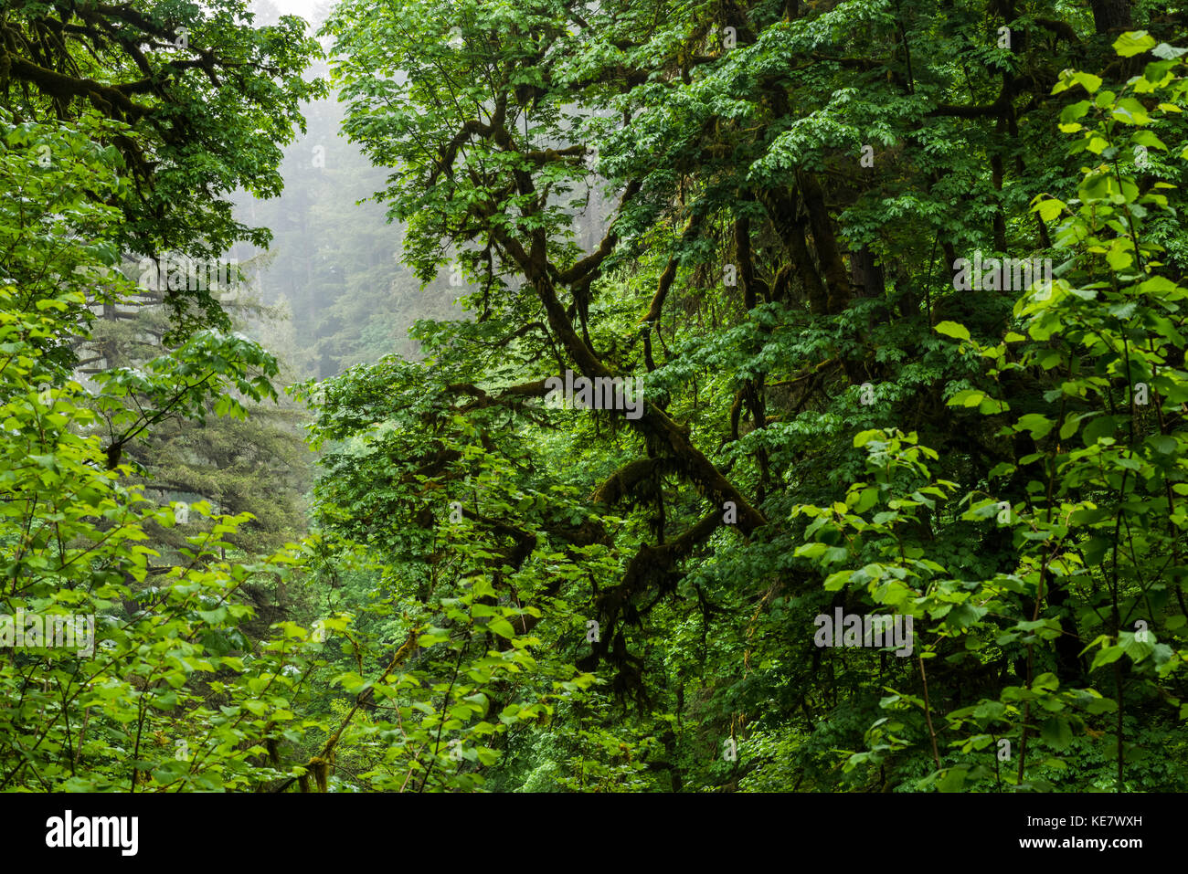 Riparian Forest Is Found Along Silver Creek, Silver Falls State Park; Oregon, United States Of America - Stock Image