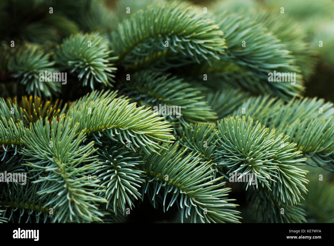 Close-Up Of Norway Spruce (Picea Abies) Needles, A Popular Choice With Landscapers In The Pacific Northwest; Astoria, - Stock Image