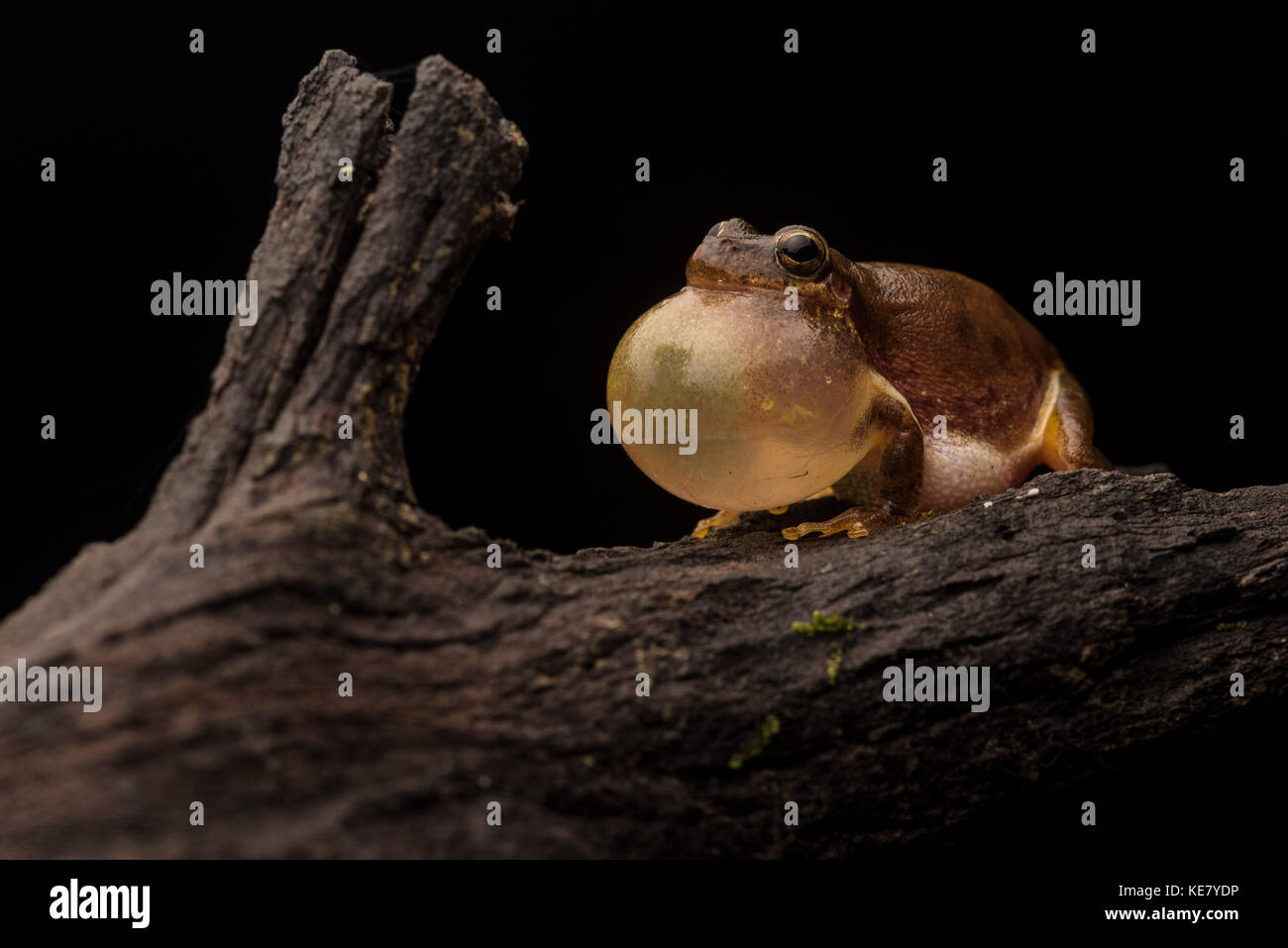 A male squirrel tree frog loudly vocalizes in order to attract females. - Stock Image