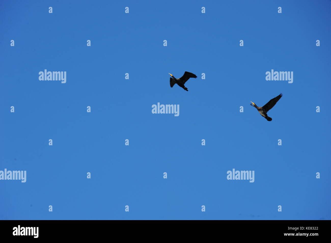 flying kormorane in spain - Stock Image