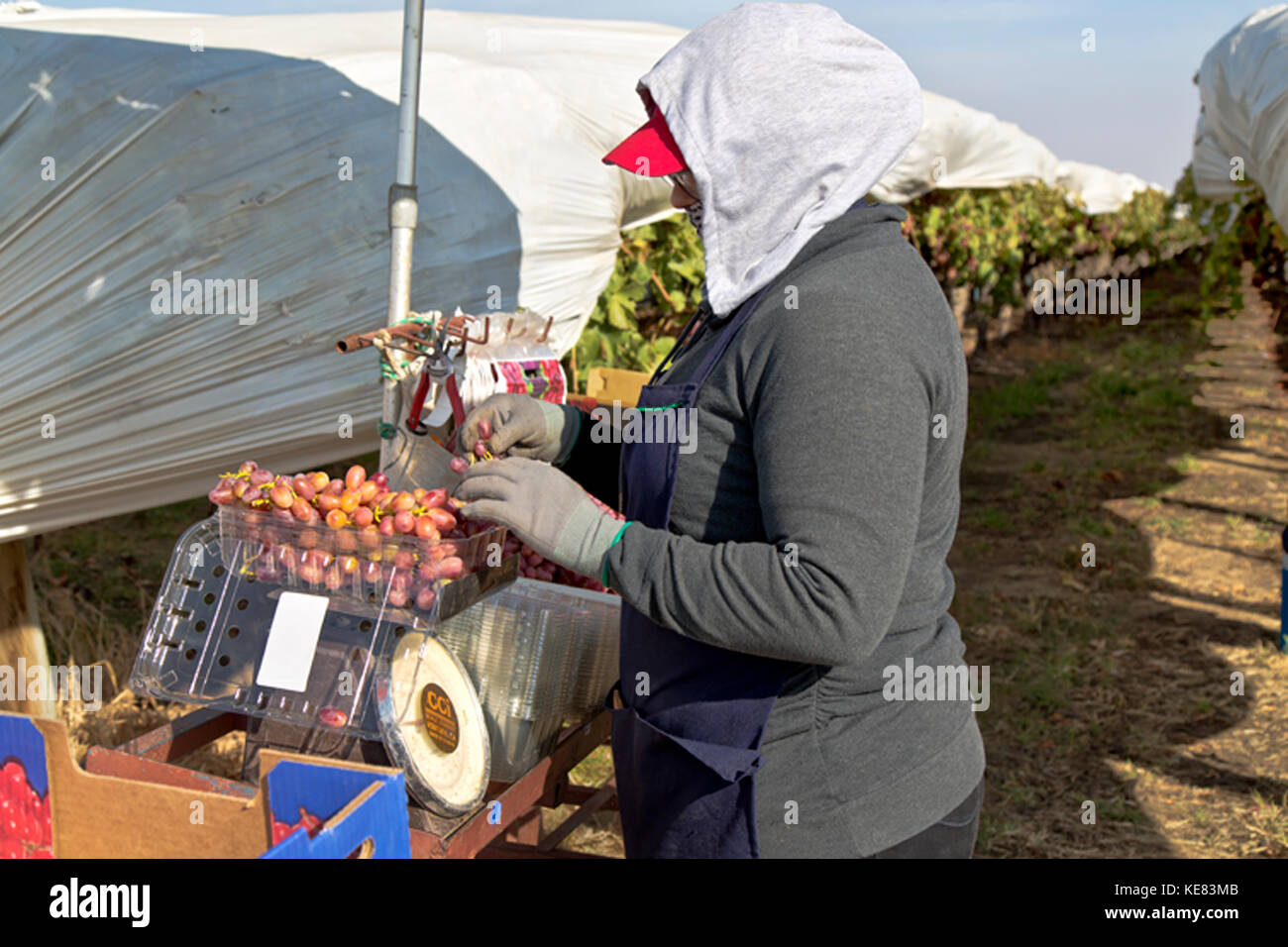 Field worker (female) weighing harvested Red Seedless Table Grapes 'Crimson' variety  'Vitis vinifera'. - Stock Image