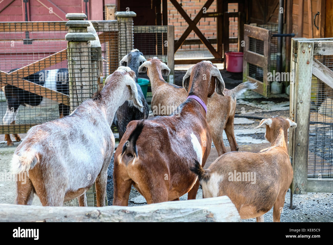 Pygmy goats lining up for foods at Seattle Woodland Park Zoo petting farm - Stock Image