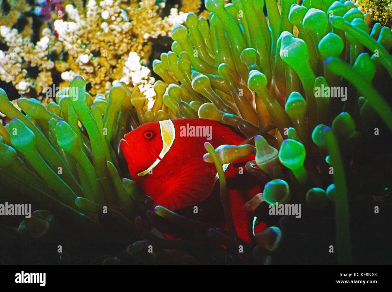 Indonesia. Sulawesi. Wakatobi. Maroon Clownfish. - Stock Image