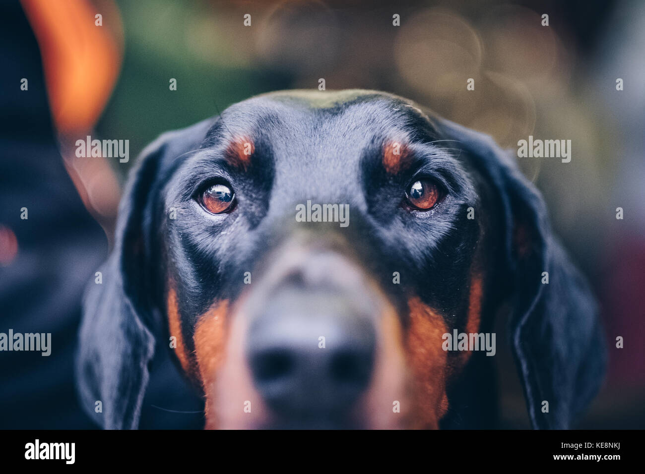 Male doberman dog looks into the camera - Stock Image