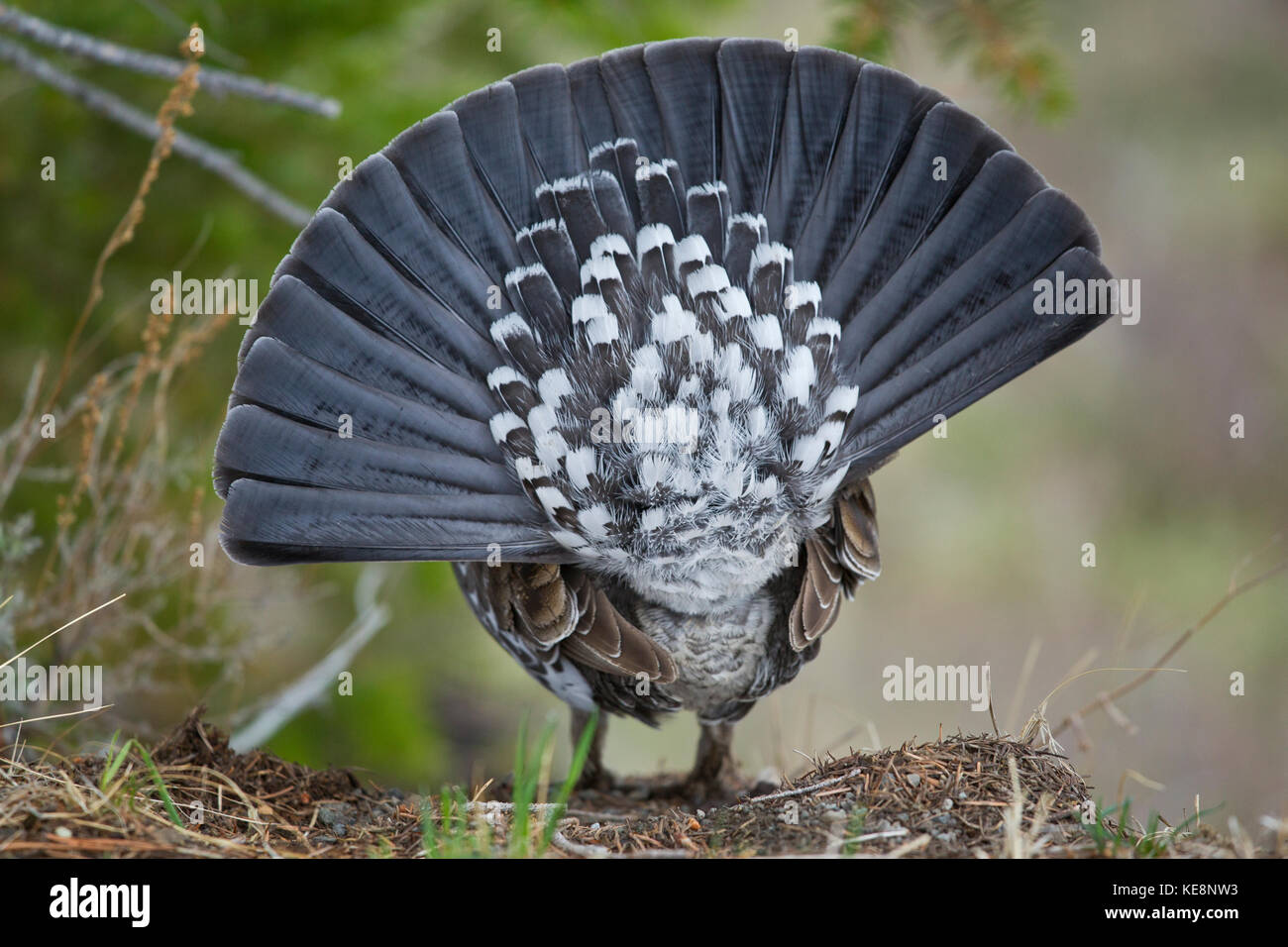 Blue or Dusky grouse during mating season in Yellowstone National Park Stock Photo