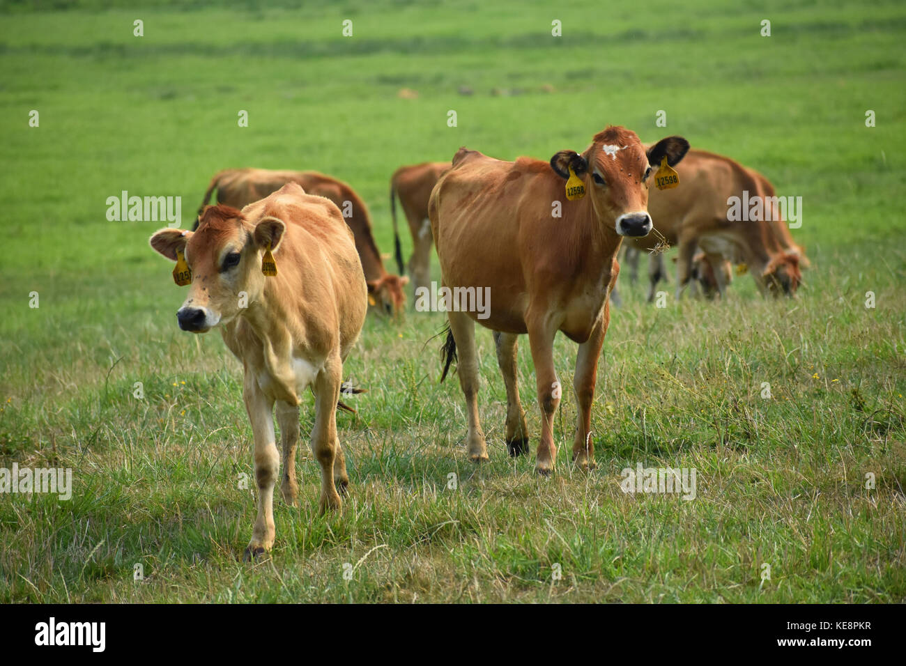 Cows in a field with beautiful green grass.  The cows have identification tags in their ears.  Some of the cows Stock Photo