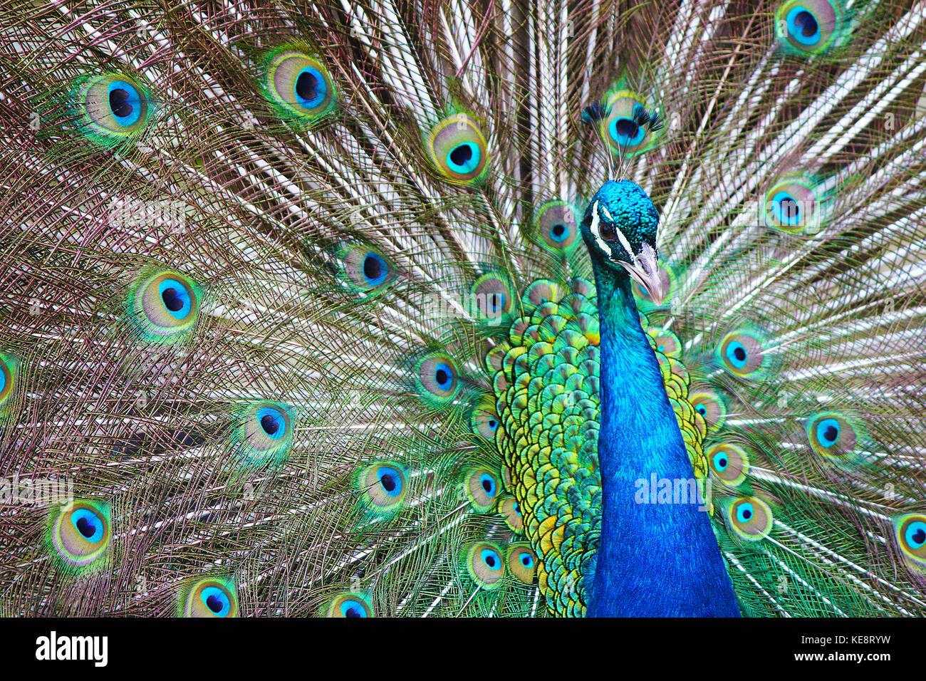 Peacock Glory. The spectacular feathers of the peacock - a showy bird that seems to know how beautiful it is. Magnificent - Stock Image