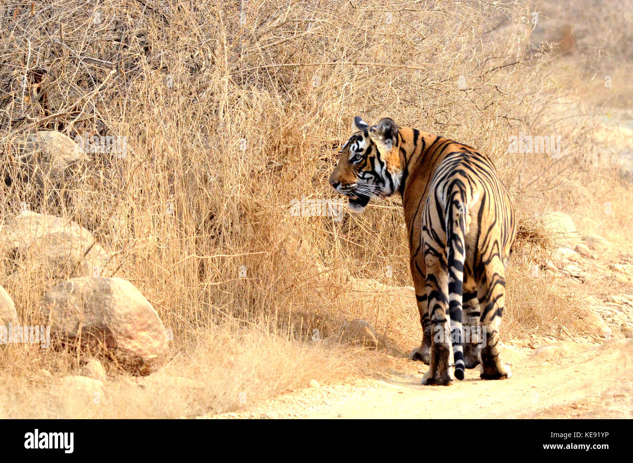 Bengal Tiger, Ranthambore National Park - Stock Image