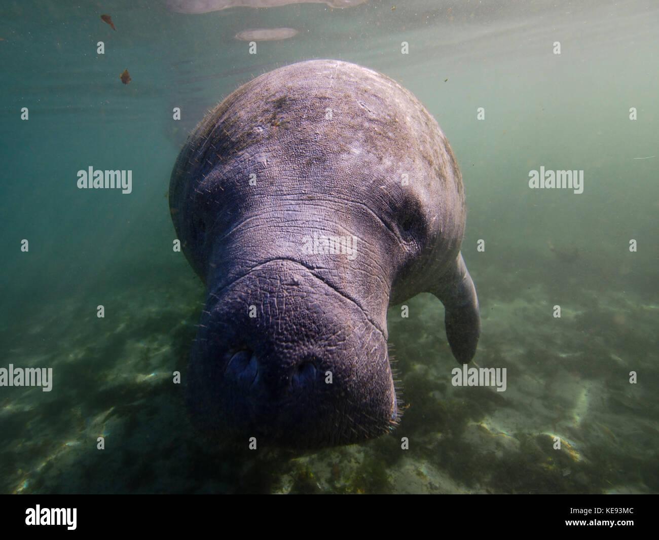 West Indian manatee underwater - Stock Image