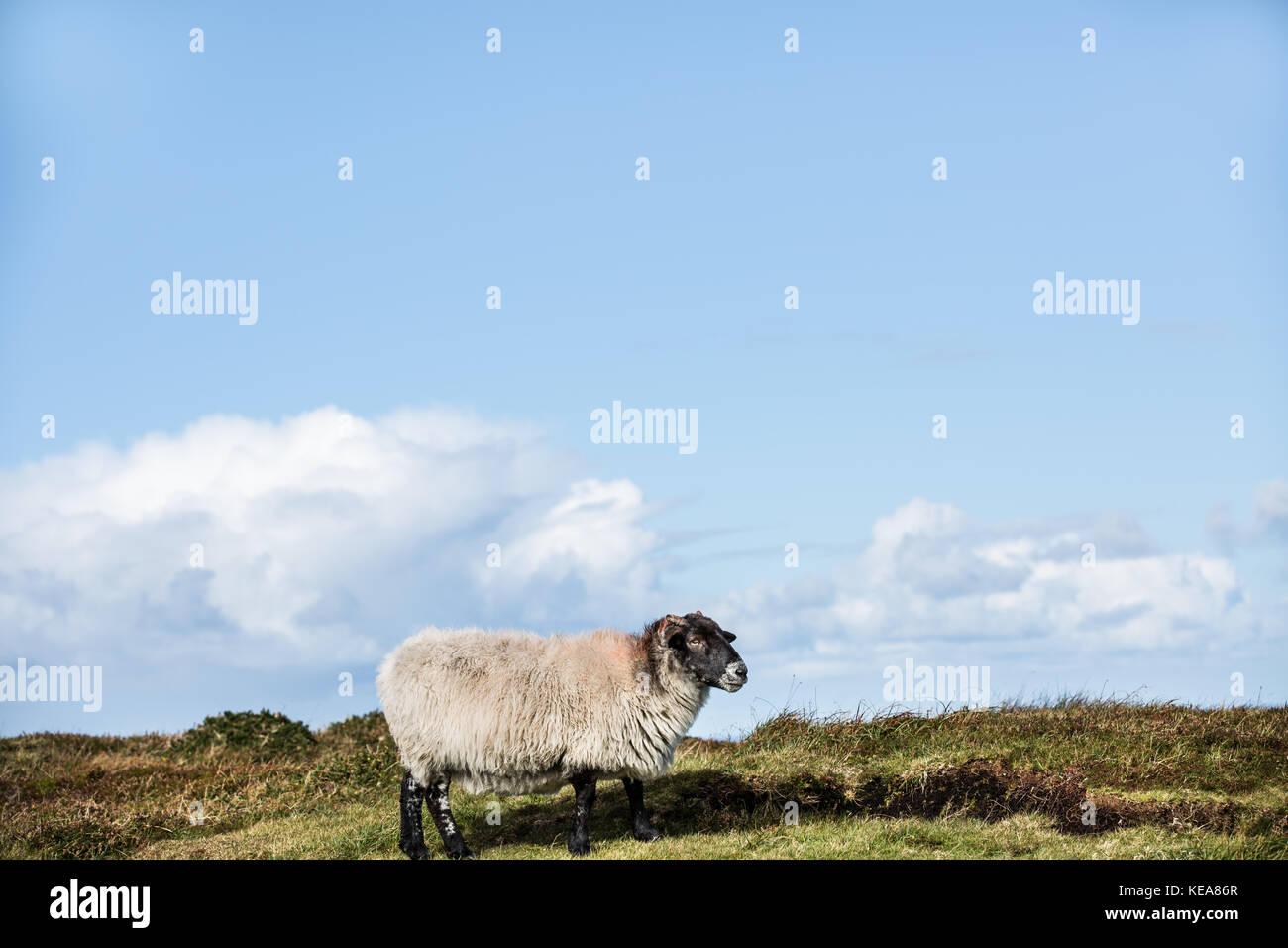 Sheep, Brandon Point, Ireland - Stock Image