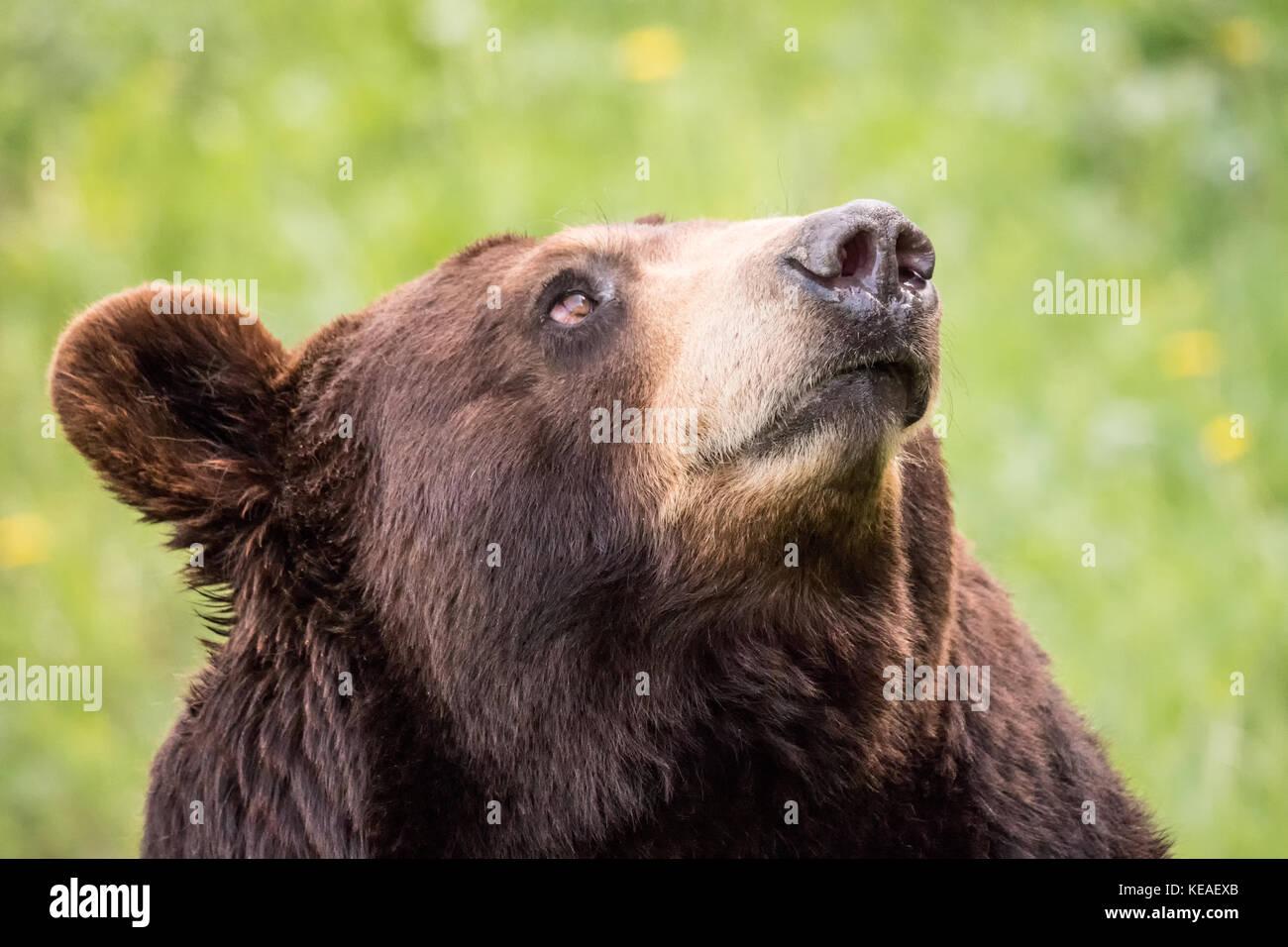 Portrait of a Black Bear in a meadow near Bozeman, Montana, USA.  Captive animal. - Stock Image