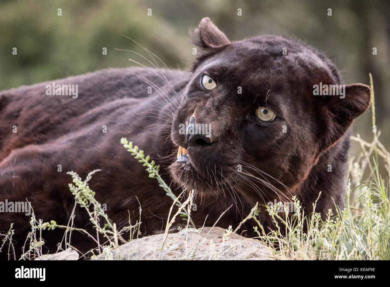 Black panther snarling a warning near Bozeman, Montana, USA.  A black panther in the Americas is the melanistic - Stock Image