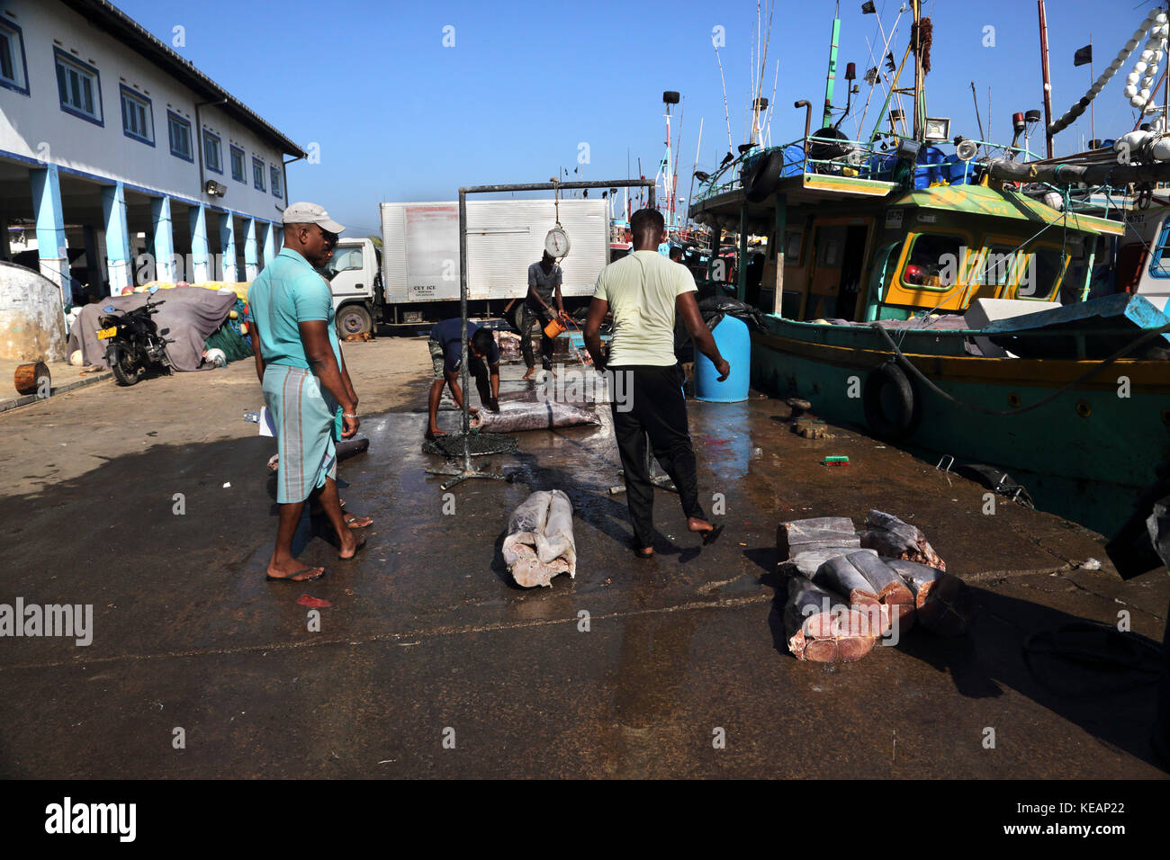 Mirissa Fishery Harbour Southern Province Sri Lanka Fishermen Weighing Tuna - Stock Image