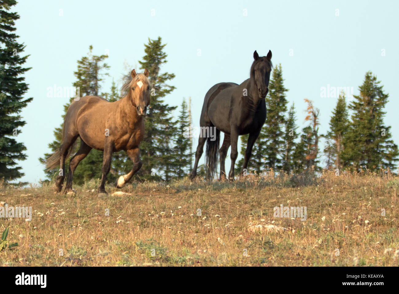 Sooty Palomino And Black Stallions Wild Horses On A Ridge In The Stock Photo Alamy