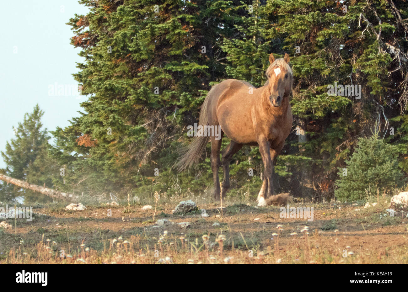 Sooty Palomino High Resolution Stock Photography And Images Alamy