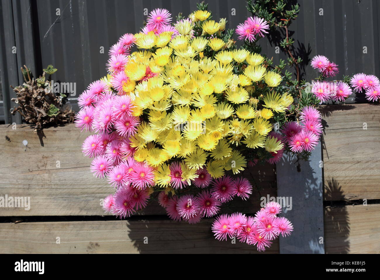 Pink and yellow Pig face flowers or Mesembryanthemum, ice plant flowers, Livingstone Daisies in full bloom - Stock Image