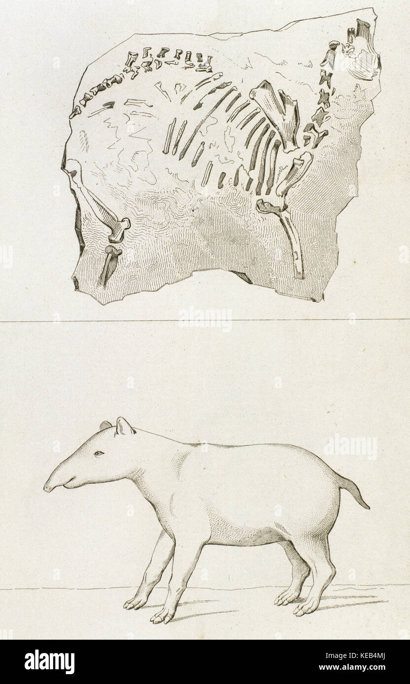 Prehistory. Palaeotherium minus (old beast) found in France. Drawing by Vernier. Engraving by Corbie, 1840. - Stock Image